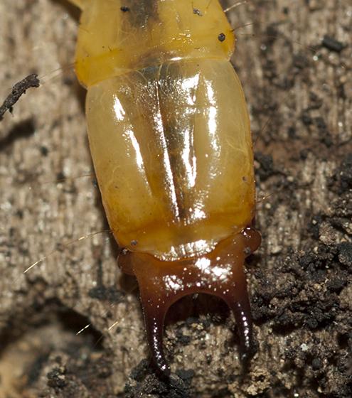 Beetle larva - Dendroides canadensis