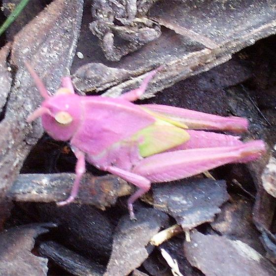 pink grasshopper - Chortophaga viridifasciata - female