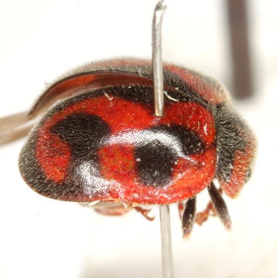 Rodolia cardinalis (Mulsant) - Novius cardinalis