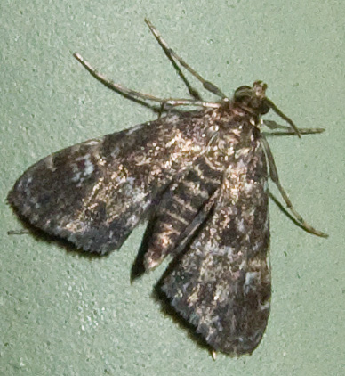Unid Moth 5 - Elophila obliteralis