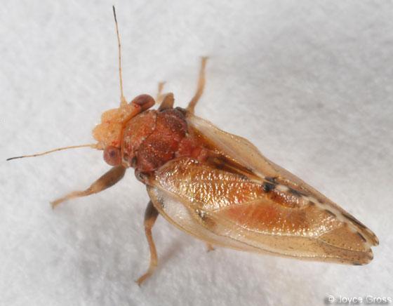 ceanothus psyllid - Nyctiphalerus vermiculosus