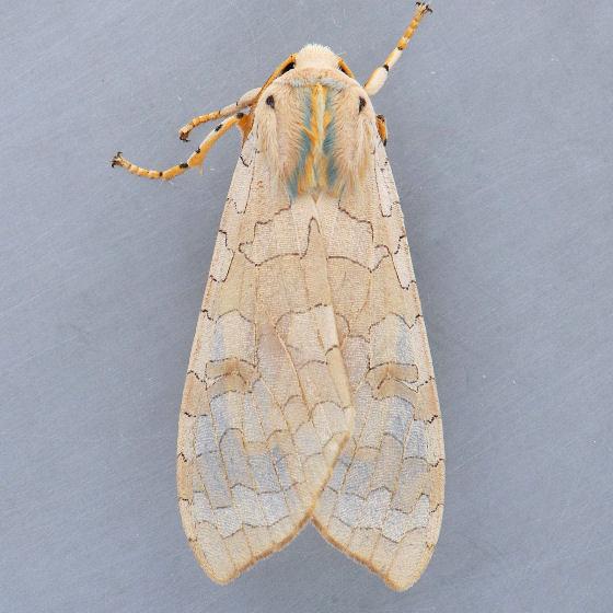 8204 Sycamore Tussock Moth - Halysidota harrisii