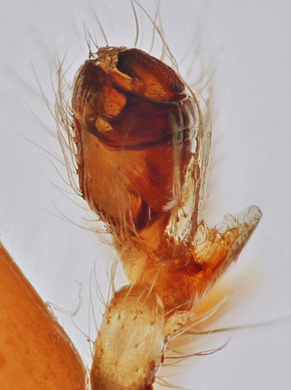 Adult male - Metellina segmentata - male