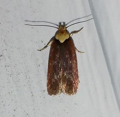 Purple Carrot-seed Moth  - Depressaria depressana