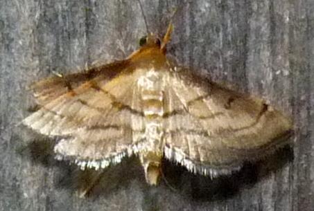 6/18/19 moth - Cnaphalocrocis trapezalis