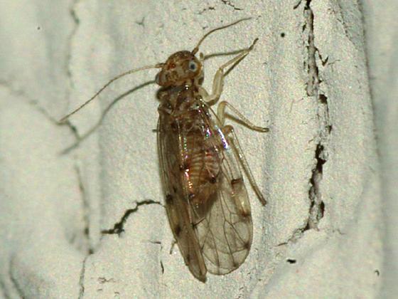 Barklouse - Ectopsocus californicus