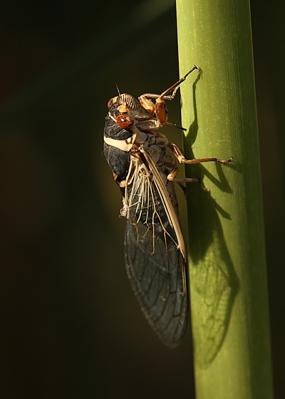 Cicada - Diceroprocta apache