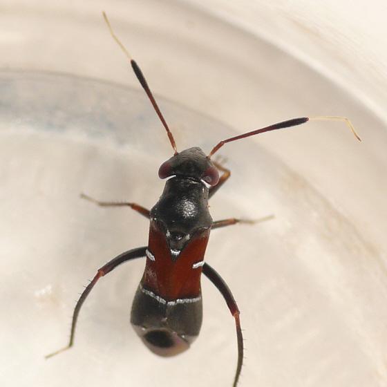 Pilophorus amoenus