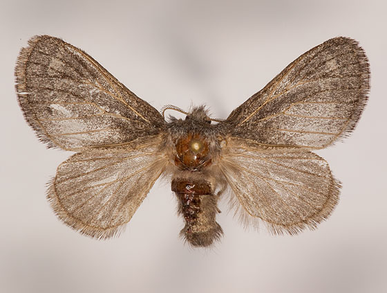 Hypopacha grisea - female