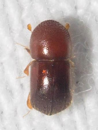 Reddish bark beetle - Xylosandrus crassiusculus