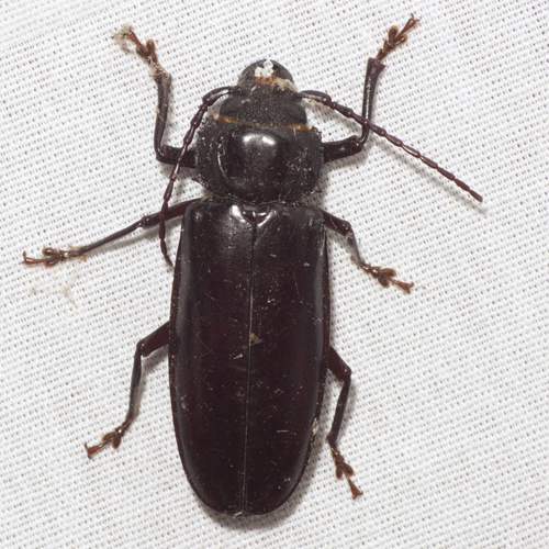Hardwood Stump Borer Beetle - Mallodon dasystomus