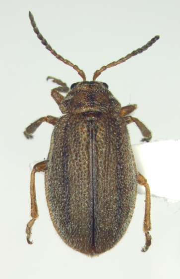 Chrysomelidae - Ophraella americana