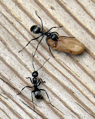 Black ants carrying something? - Formica subsericea