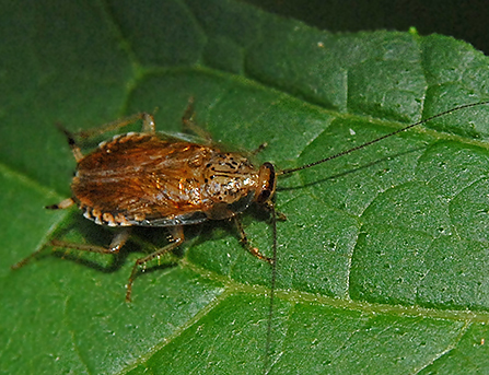 Roach-like Insect - Cariblatta lutea
