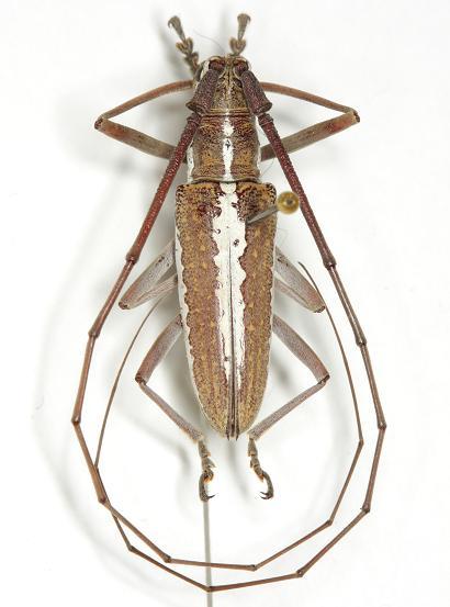 Neoptychodes trilineatus  (Linnaeus) - Neoptychodes trilineatus