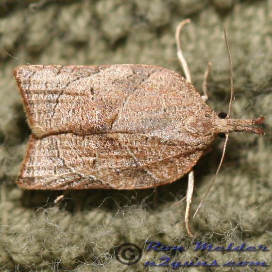 Moth - Platynota rostrana