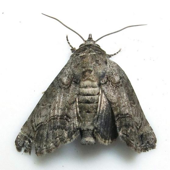 Hodges #8559 - Pygmy Paectes Moth - Paectes pygmaea