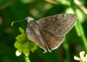 Duskywing Puzzle - Erynnis - male