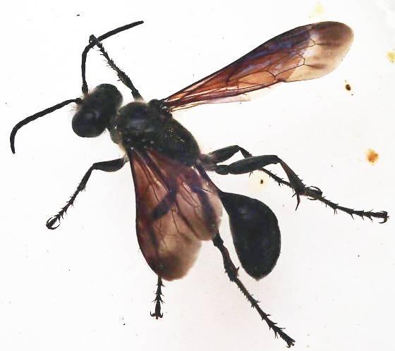Confirmation of Isodontia wasp id - Isodontia mexicana - female