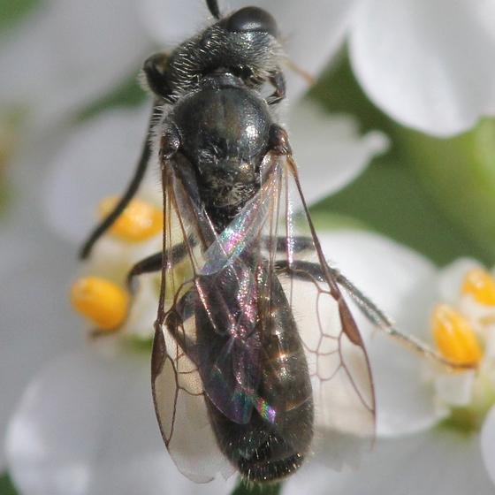 MN Oct - Lasioglossum