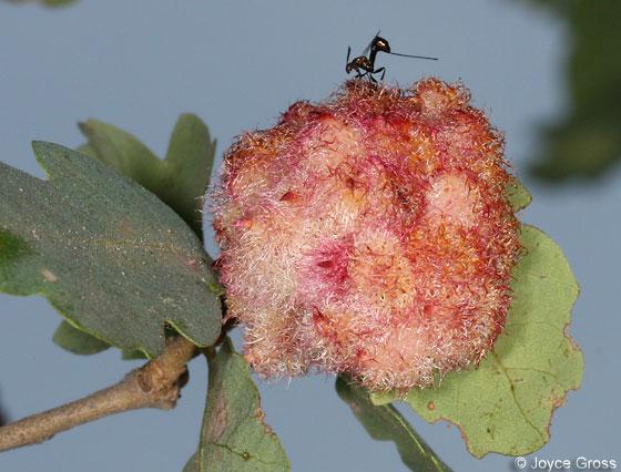 Crystalline Gall Wasp gall mass with parasitoid - Andricus crystallinus - female