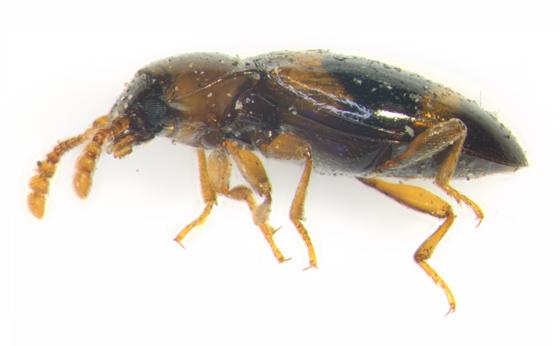 Endomychidae, lateral - Phymaphora pulchella - female