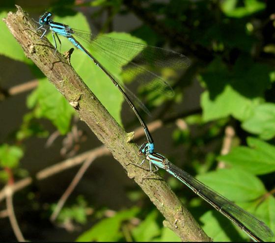 Mating Pond Damselflies - 4/23/09 - Enallagma divagans - male - female