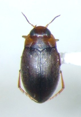 Bidessonotus - female