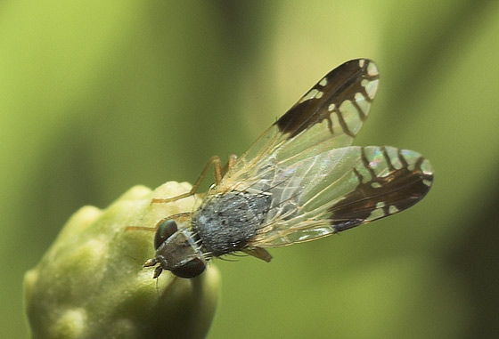 What type of fly is this? - Trupanea bisetosa