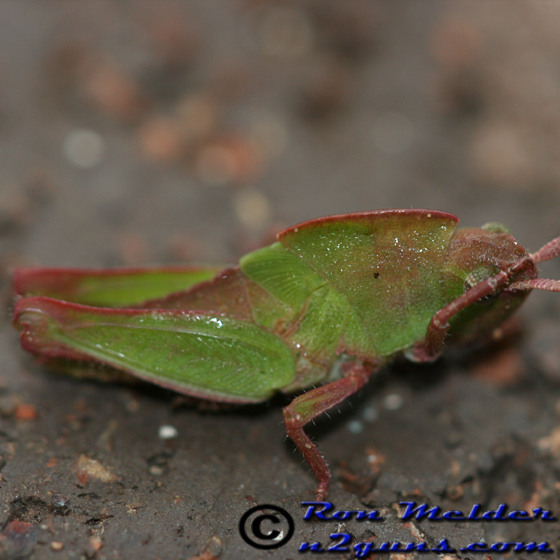 Northern Green-striped Grasshopper - Chortophaga viridifasciata - female