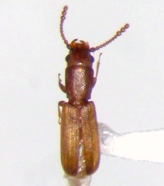 Laem - Leptophloeus angustulus