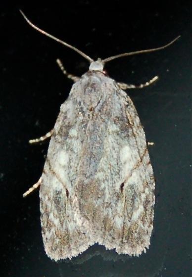 White-blotched Balsa - Balsa labecula