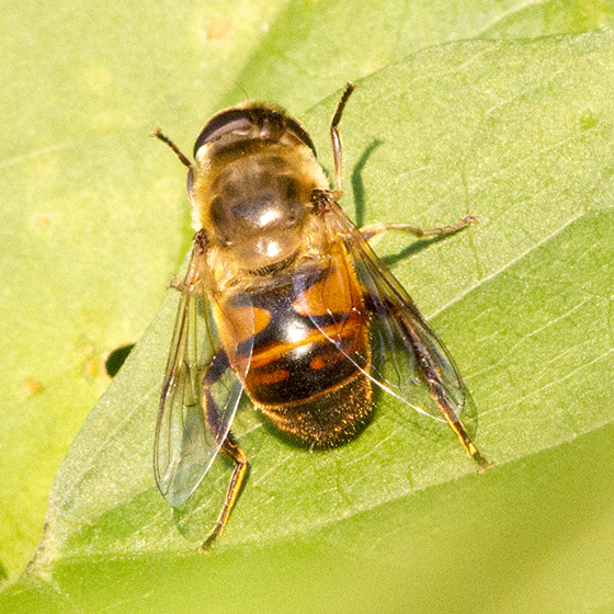 fly on green bean leaf - Eristalis tenax