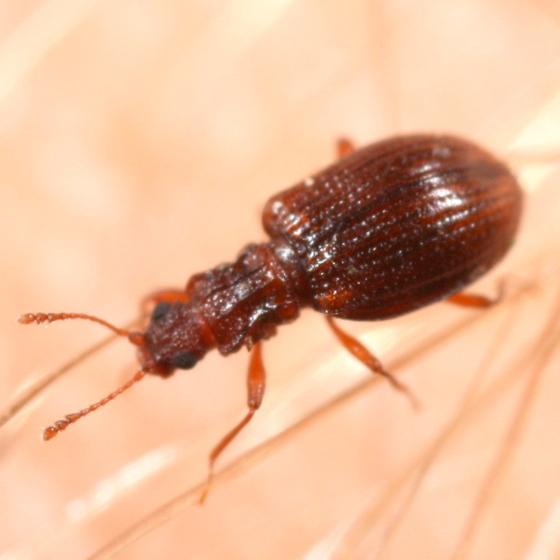Small beetle - Stephostethus liratus