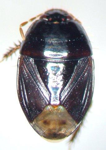 Tominotus - female