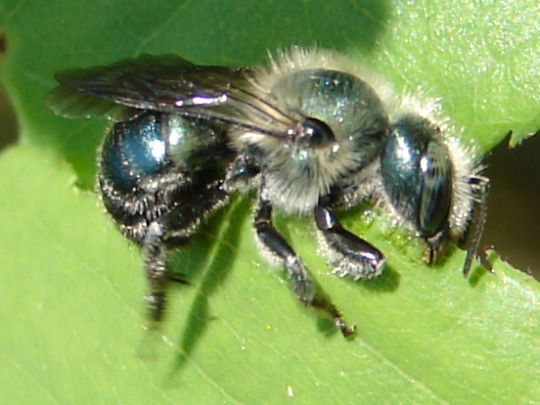 Bee - Osmia - female