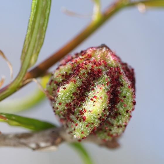 gall on oak - Andricus coronus
