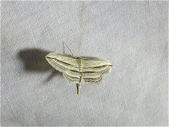 White and Gray Moth - Arcobara multilineata