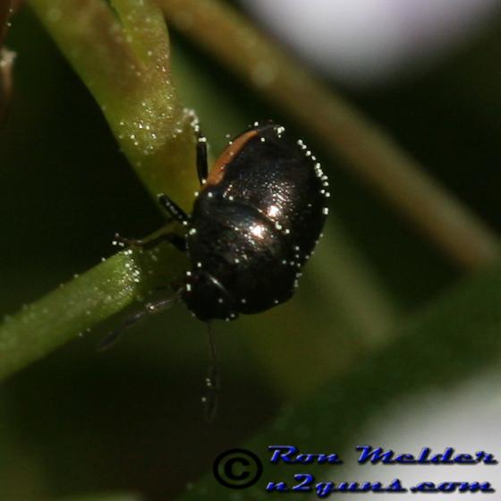 Negro Bug - Corimelaena