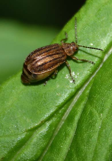 Leaf Beetle? - Ophraella conferta