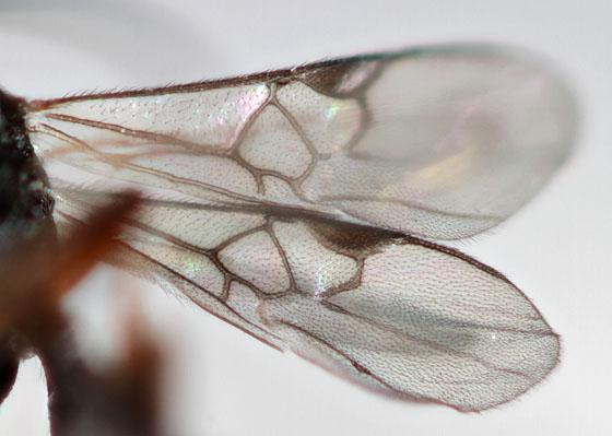 Braconid wasp? - Cotesia