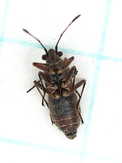 Plant Bug - Neortholomus scolopax