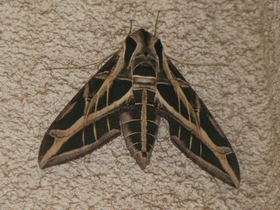 Vine Sphinx Moth - Eumorpha vitis