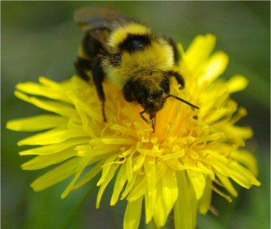 Bumble Bee and Dandelion - Bombus insularis