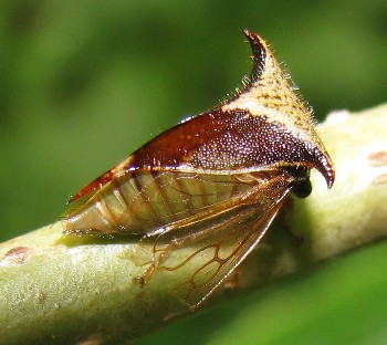 Treehopper - Stictocephala diceros