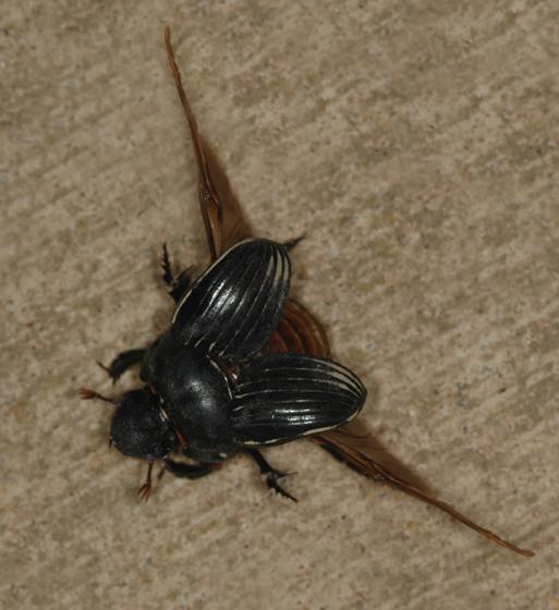 Dichotomius carolinus