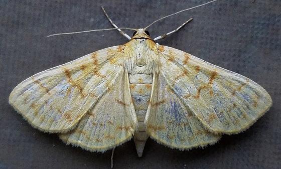Polygrammodes flavidalis (Ironweed Root Moth) - Polygrammodes flavidalis