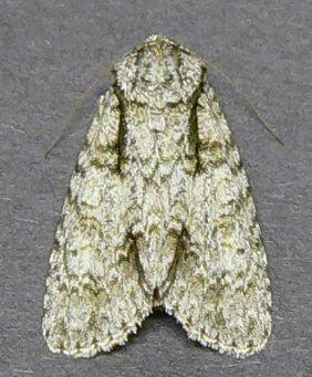 Dagger Moth - Acronicta