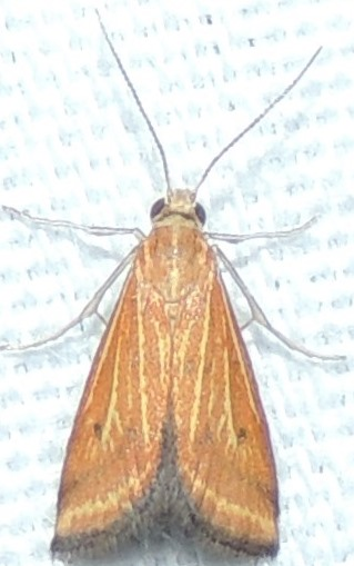 Yellow-veined Moth - Microtheoris ophionalis