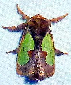4697     Spiny Oak-slug Moth     (Euclea delphinii) - Euclea delphinii